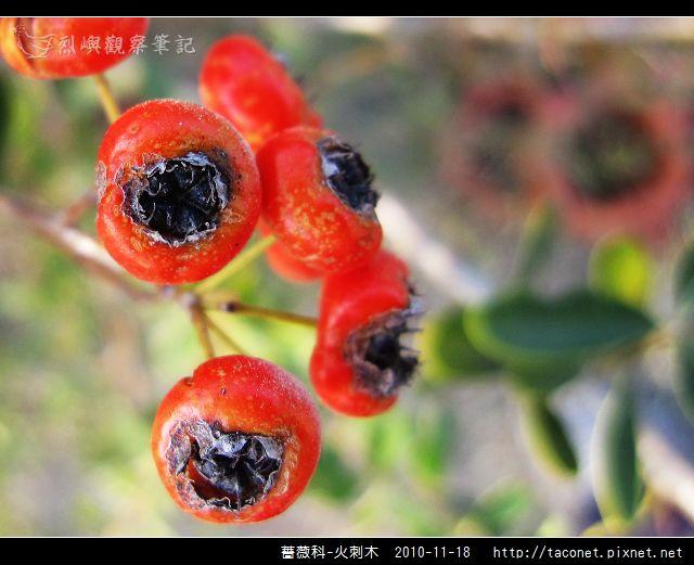 薔薇科-火刺木_02.jpg