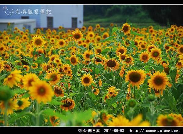 菊科-向日葵_12.jpg