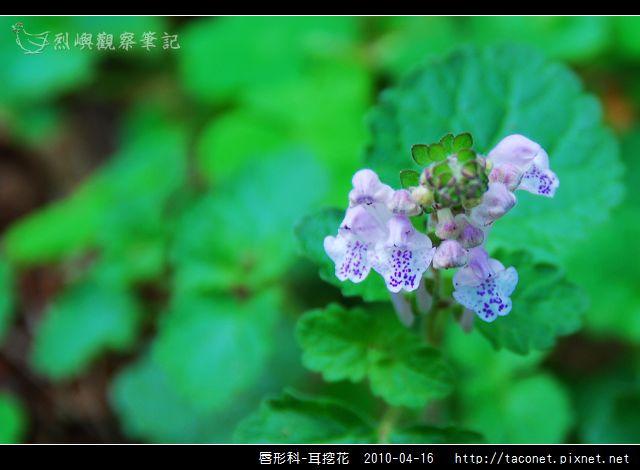 唇形科-耳挖花_06.jpg