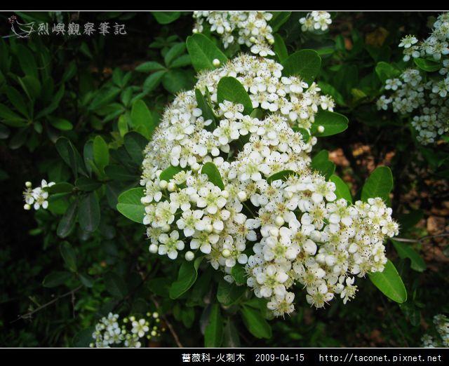 薔薇科-火刺木_11.jpg