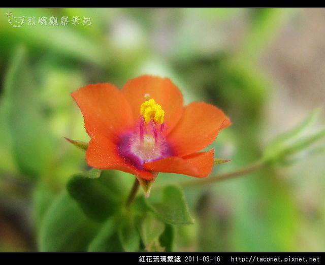 紅花琉璃繁縷-16.jpg