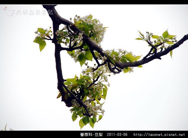 薔薇科-豆梨_04.jpg