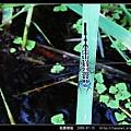 粗腰蜻蜓_07.jpg