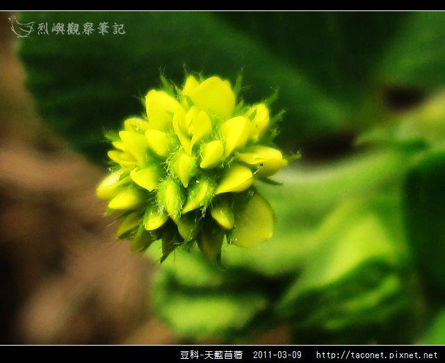豆科-天藍苜蓿_12.jpg