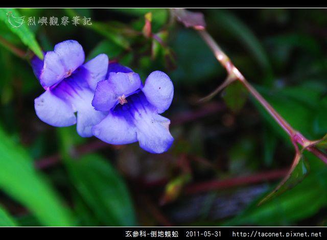 玄參科-倒地蜈蚣_05.jpg
