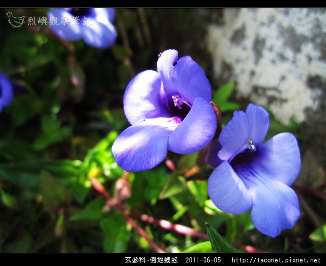 玄參科-倒地蜈蚣_07.jpg