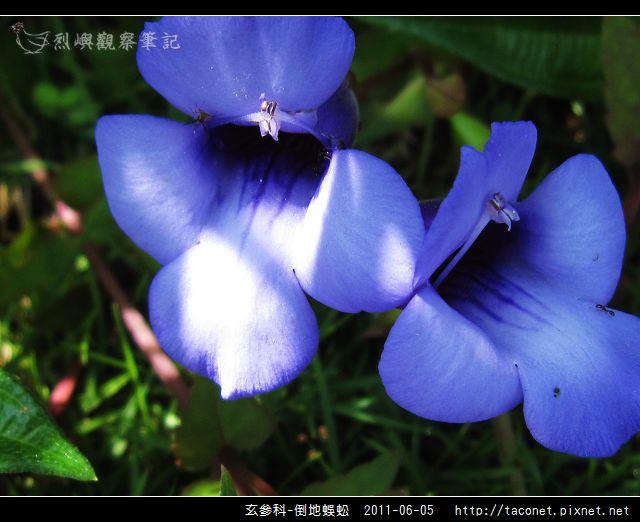 玄參科-倒地蜈蚣_09.jpg