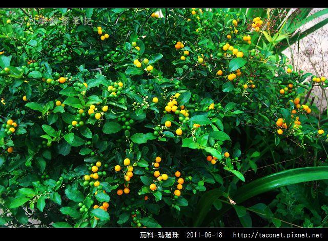 茄科-瑪瑙珠_01.jpg
