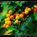 茄科-瑪瑙珠_03.jpg