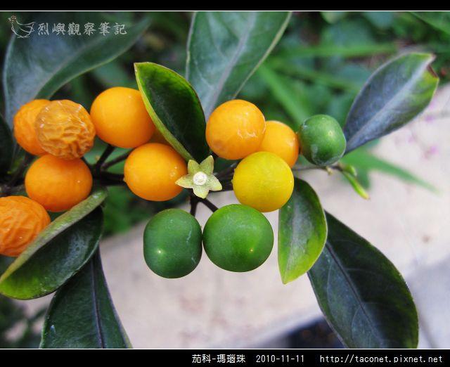 茄科-瑪瑙珠_06.jpg