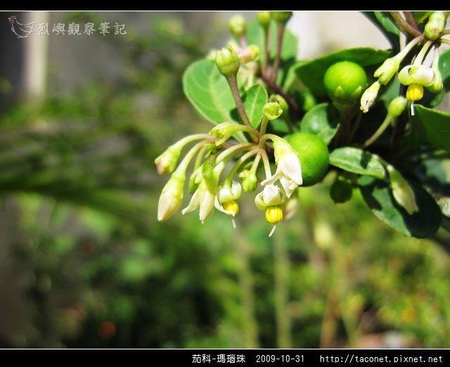 茄科-瑪瑙珠_07.jpg