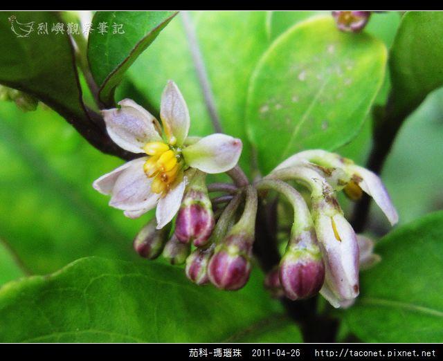 茄科-瑪瑙珠_09.jpg