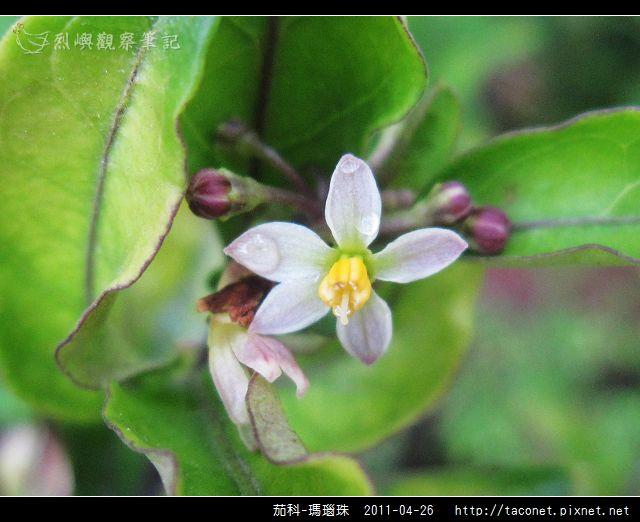 茄科-瑪瑙珠_10.jpg
