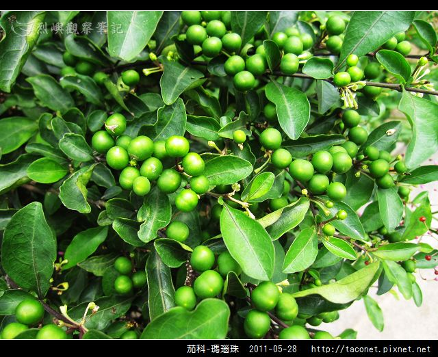 茄科-瑪瑙珠_11.jpg