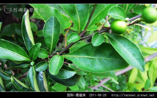 茄科-瑪瑙珠_14.jpg