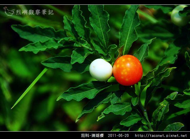 茄科-珊瑚櫻_12.jpg