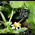 紅星斑蛺蝶_05.jpg