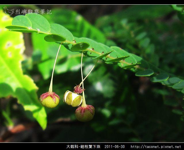 大戟科-細枝葉下珠.jpg