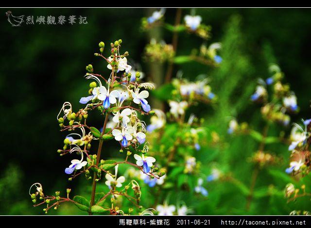 馬鞭草科-紫蝶花_01.jpg
