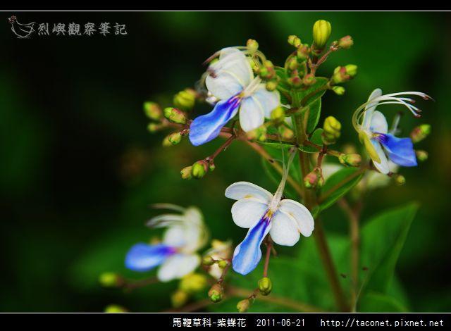 馬鞭草科-紫蝶花_04.jpg