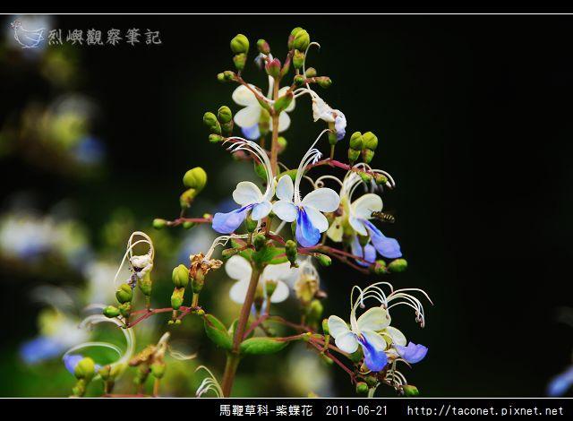 馬鞭草科-紫蝶花_03.jpg