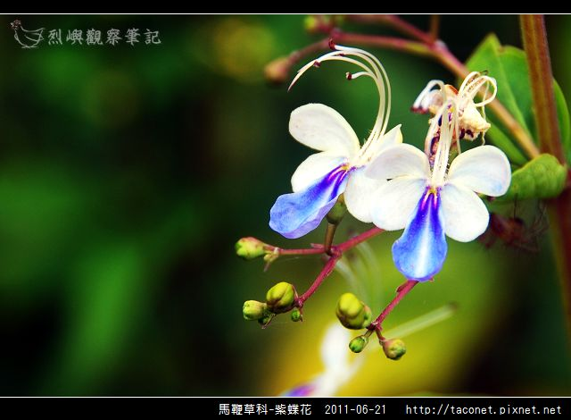 馬鞭草科-紫蝶花_06.jpg