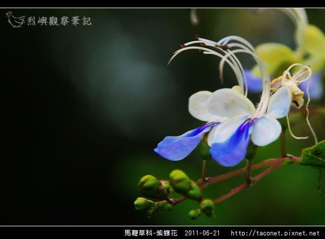 馬鞭草科-紫蝶花_08.jpg