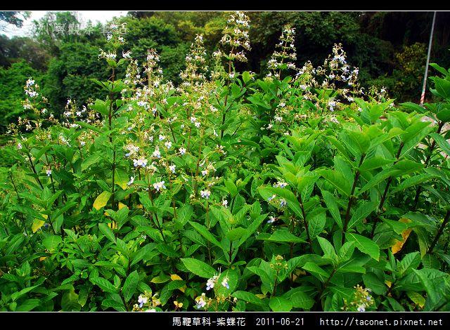 馬鞭草科-紫蝶花_07.jpg