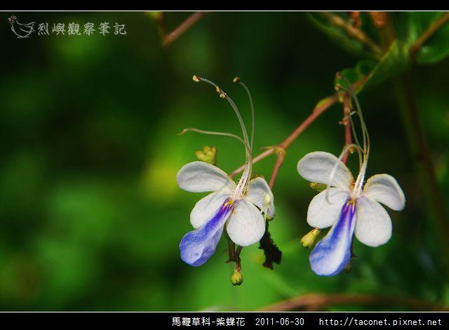 馬鞭草科-紫蝶花_09.jpg