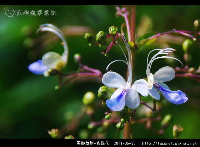 馬鞭草科-紫蝶花_11.jpg