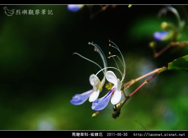 馬鞭草科-紫蝶花_13.jpg