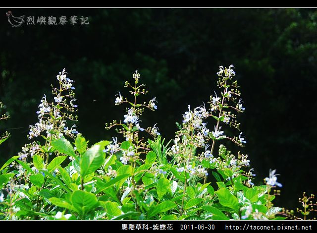 馬鞭草科-紫蝶花_12.jpg