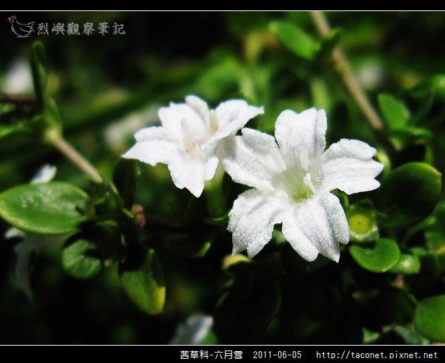 茜草科-六月雪_04.jpg