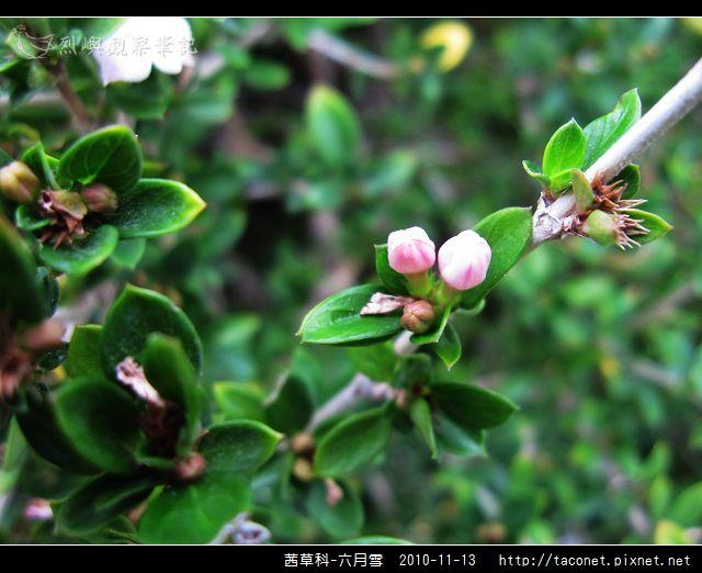 茜草科-六月雪_05.jpg