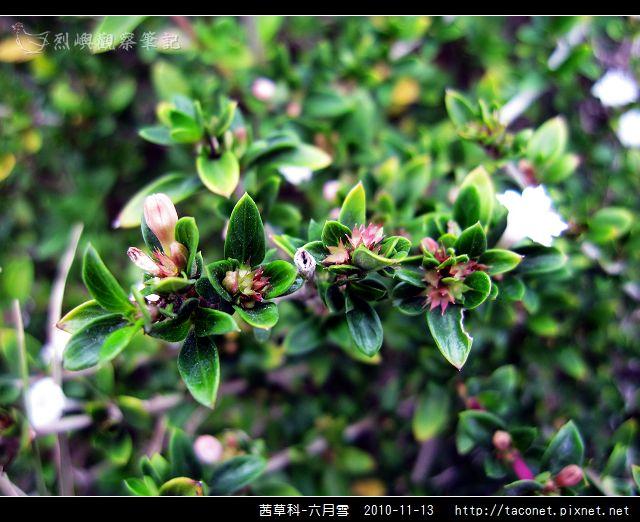 茜草科-六月雪_06.jpg