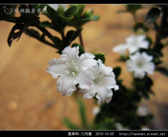 茜草科-六月雪_10.jpg