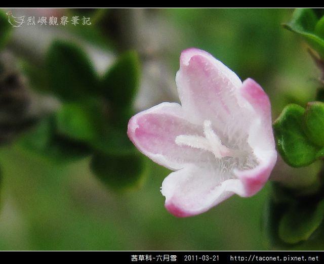 茜草科-六月雪_11.jpg