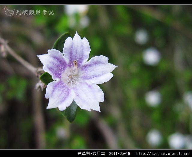 茜草科-六月雪_12.jpg