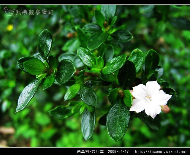 茜草科-六月雪_15.jpg