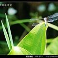 橙斑蜻蜓_01.jpg