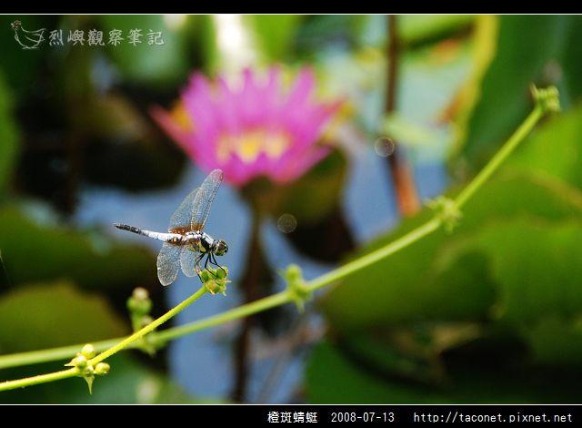 橙斑蜻蜓_02.jpg