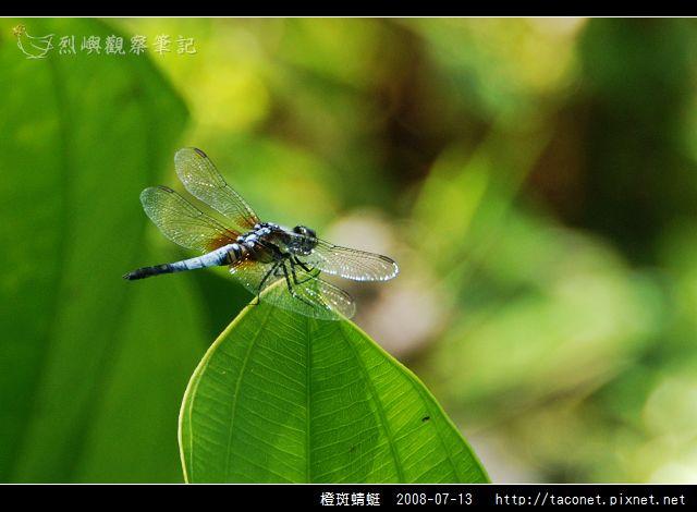 橙斑蜻蜓_03.jpg