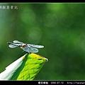 橙斑蜻蜓_05.jpg