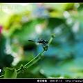 橙斑蜻蜓_04.jpg