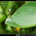 橙斑蜻蜓_06.jpg
