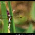 橙斑蜻蜓_07.jpg