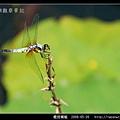 橙斑蜻蜓_08.jpg