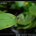 橙斑蜻蜓_09.jpg