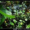 橙斑蜻蜓_10.jpg