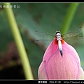 橙斑蜻蜓_11.jpg